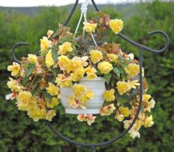 Begonia Large Flower Illumination Rose F1-50 Pelleted Seeds