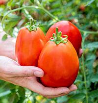 Peach Jolokia chilli pepper