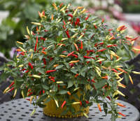 chilli pepper basket of fire chili seeds bred for hanging baskets and containers