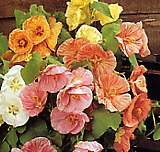 Abutilon. Bella Select Mixed 10 seeds