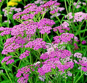 Achillea. Cerise Queen 100 seeds