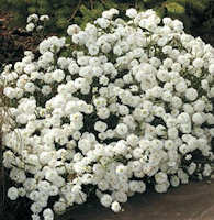 Achillea. Double Diamond Ptarmica 200 seeds