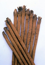 Burdock Takinogawa Asian vegetable 30 seeds