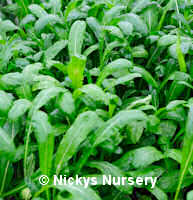Japanese Greens Mibuna 300 seeds