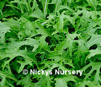 Japanese Greens Mizuna 300 seeds