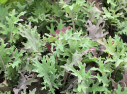 Kale Red Russian 500 seeds