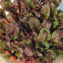 Beet Leaf Bulls Blood 3g av 185 seeds