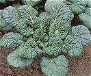 Chinese Cabbage Yukina Savoy oriental vegetable 250 seeds