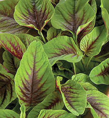 Amaranth Red Callaloo 500 seeds