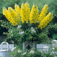 Antirrhinum. Legend Yellow 25 seeds