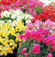 Antirrhinum. Floral Showers Mixed 100 seeds