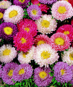Aster. Matsumoto Striped Mixed 200 seeds