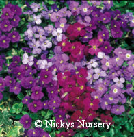 Aubretia. Royal Mixed 280 seeds