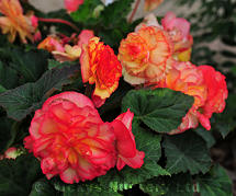 Begonia. On Top Sunset Shades 20 Pelleted sds