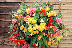 Begonia. Illumination Mixed 50 Pelleted sds