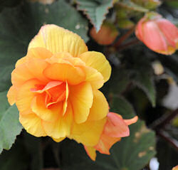 Begonia. Illumination Apricot Shades 50 Pelleted sds