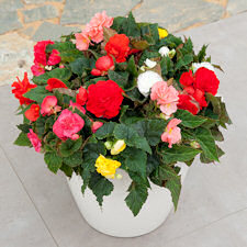 Begonia. Fortune Mixed 50 Pelleted seeds