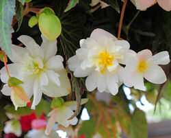 Begonia. Illumination White 50 Pelleted sds