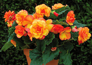 Begonia. On Top Sun Glow 20 pelelted seeds
