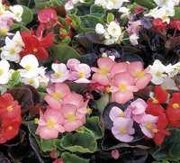 Begonia. Devils Delight Mixed 100 pelleted sds