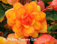 Begonia. Supercascade Apricot Shades 25 pelleted seeds