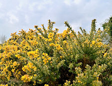 Ulex Europaeus Common Gorse 20 seeds