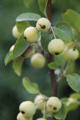 Malus baccata 20 seeds