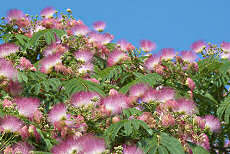 Albizia julibrissin Silk Tree 20 seeds