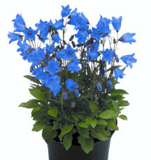 Campanula. Alpine Breeze Blue 50 seeds