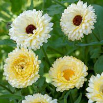 Calendula. Snow Princess 100 seeds