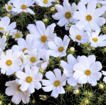 Cosmos. Purity 100 seeds