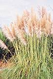 Pampas Grass. Pink Feather Cortaderia Selloana 100 flower seeds