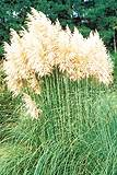 Pampas Grass. White Feather Cortaderia Selloana 100 flower seeds