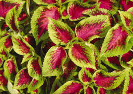 Coleus. Watermelon 10 seeds