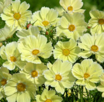 Cosmos. Xanthos 40 seeds