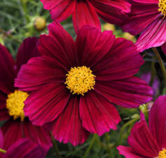 Cosmos. Sonata Purple Shades 25 seeds