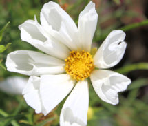 Cosmos. Hummingbird White 20 seeds