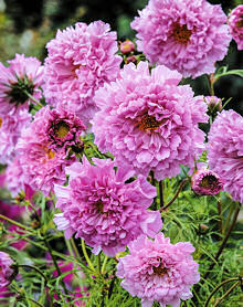Cosmos. Double Click Rose Bonbon 30 seeds