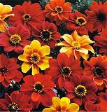 Dahlia. Bishops Children 40 seeds