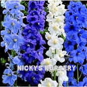 Delphinium. Belladonna Mixed 30 seeds