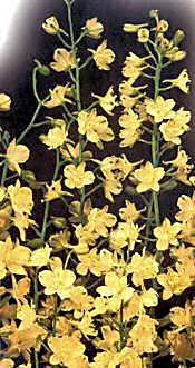 Delphinium. Zalil 20 seeds