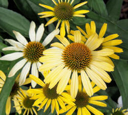 Echinacea. Mellow Yellows 15 seeds