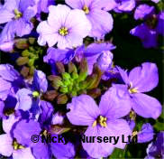 Erysimum. Little Kiss Lilac 80 seeds