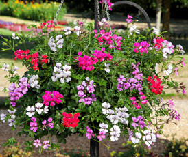 Geranium. Reach Out mixed 6 seeds