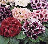 Gloxinia. Empress Mixed 50 seeds