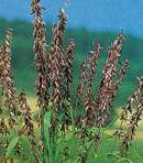 Grasses. Melica transsilvanica Red Spire 50 seeds