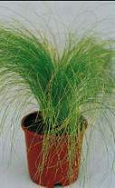 Grasses. Stipa Tenuissima Pony Tails 100 seeds