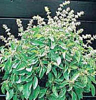 Basil Lime 500 seeds