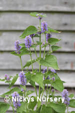 Anise Hyssop Blue 500 seeds