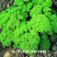 Parsley Champion Moss Curled 1000 seeds
